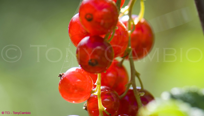 Jewel like Redcurrants in the wild entangled in a spiders web